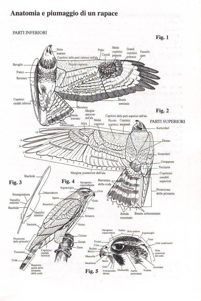 Anatomia e piumaggio di un rapace