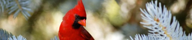cropped-northern_cardinal_by_jay_co-d3kt22n2.jpg