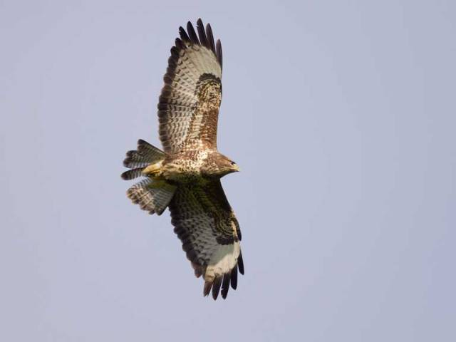 common_buzzard_david_chapman_768