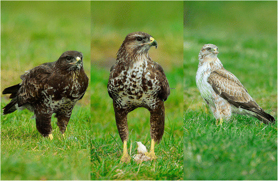 The-three-morphs-of-the-common-buzzard-The-dark-morph-left-has-dark-head-heavily.png